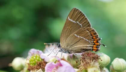 Elusive Butterfly Spotted in Scotland For the First Time in 133 Years