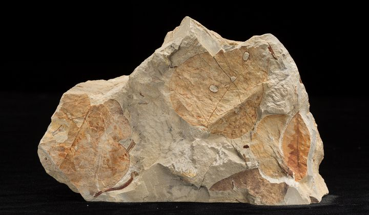 Fossil plants reveal information about the temperature and precipitation of past climates. Scientists use what they learn from fossil plants to inform their research on modern climate change (USNM PAL 606436, Smithsonian)