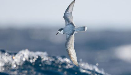 Why Seabirds Eat So Much Plastic