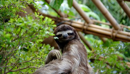 What Drives a Sloth's Ritualistic Trek to Poop?