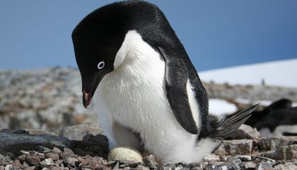 Adelie Penguins Poop So Much, Their Feces Can Be Seen From Space