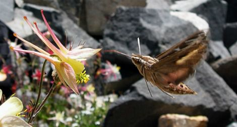 Hawkmoths prefer columbines with long, slender spurs.