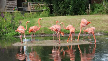 Flamingos in Captivity Pick Favorite Friends Among the Flock