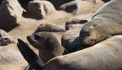 Tuberculosis Probably Hitched A Ride To America on Seals