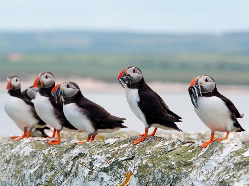 Puffin poo