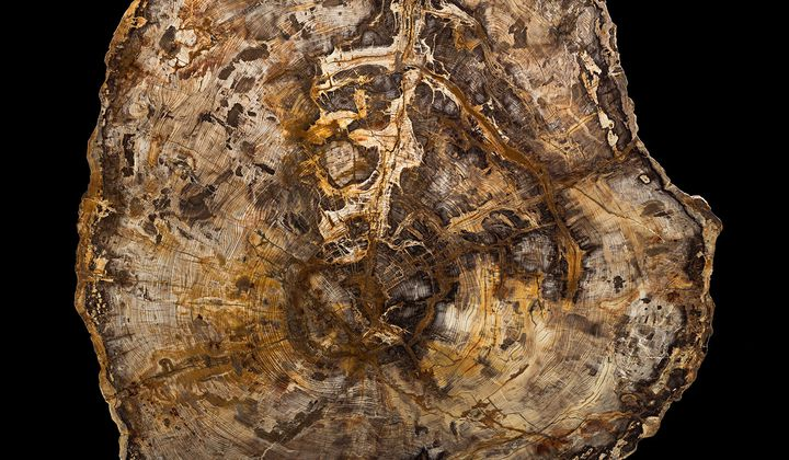 A 16-Million-Year-Old Tree Teaches About Deep Time