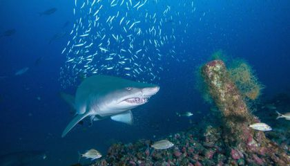 North Carolina's Famed Shipwrecks Are Now Home to a Shark Conservation Research Study