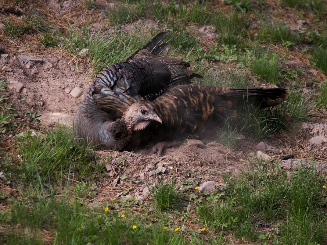 Wild Turkey Loosens Dirt