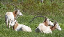 Goats and Gazelles and Oryx, Oh My! How Wildlife Veterinarians Treat (Almost) All Species
