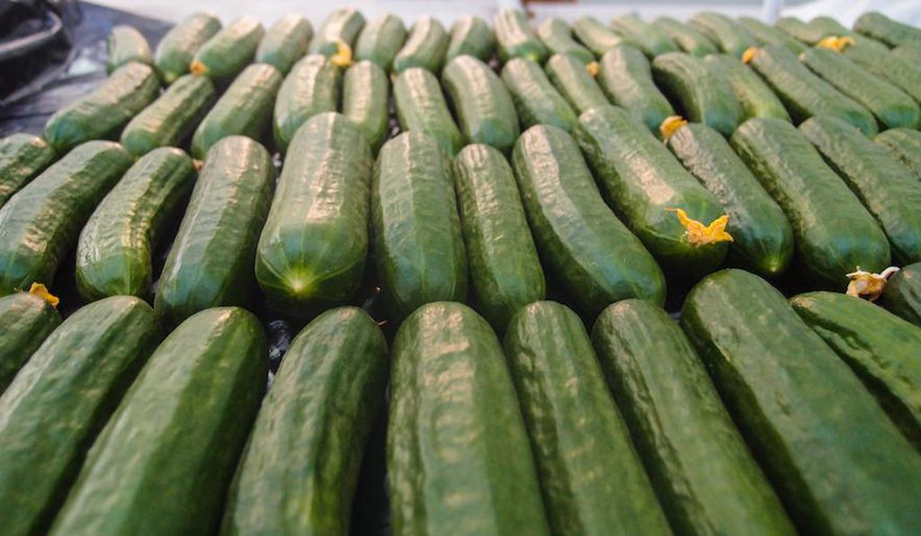 Cucumbers grown in greenhouses irrigated with desalinated seawater.