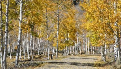 Pando, One of the World's Largest Organisms, Is Dying