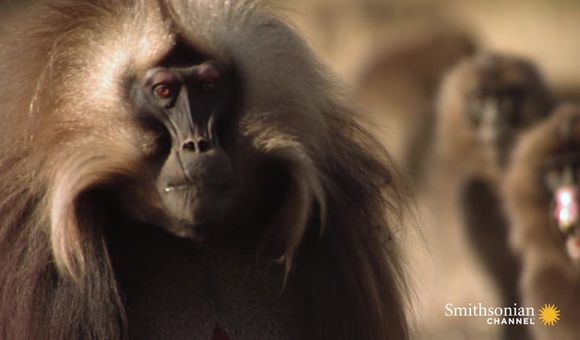 Preview thumbnail for video'Gelada Baboon Reacts to Being Cheated on With Fury