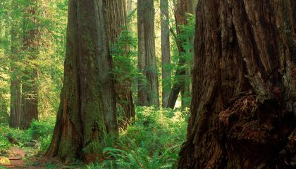 How Forest Forensics Could Prevent the Theft of Ancient Trees