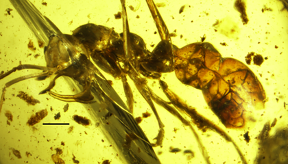 Researchers Find 98-Million-Year-Old Horned Vampire Ant Encased in Amber