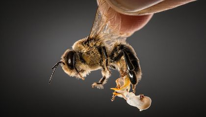 Is the Key to Saving Pollinators … Honey Bee Semen?