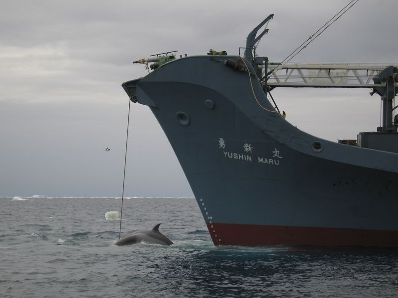 Japan Killed 112 Pregnant Whales in the Name of Scientific Research