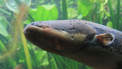 Science Proves Electric Eels Can Leap From Water to Attack