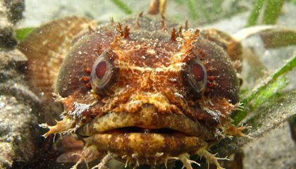 "Male Bocon toadfish of Panama attract mates by singing in a series of ""grunts"" and ""boops."" (Credit: Study authors)"