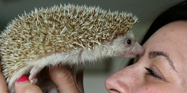 Hedgehogs as housepets?