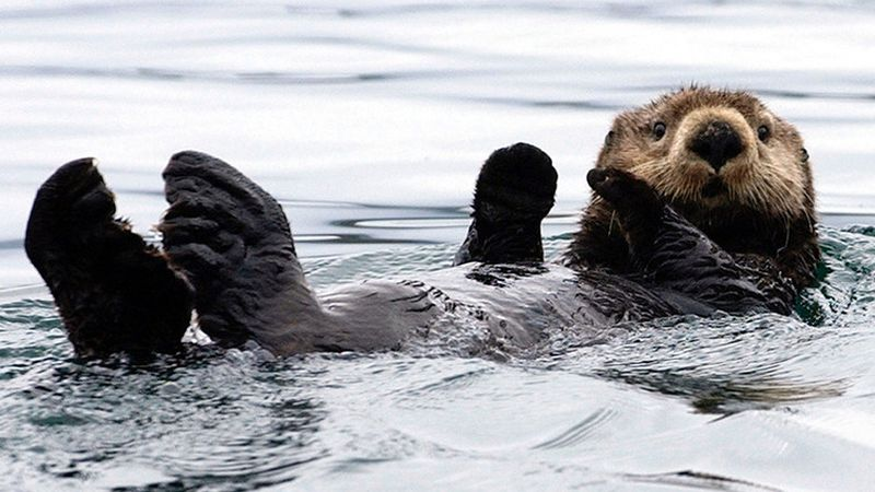 The 'soft gold' of the sea otter was what drew so many Russians to Alaska.