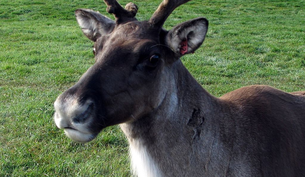 Reindeer are just some of the mammals found at the Large Animal Research Station.