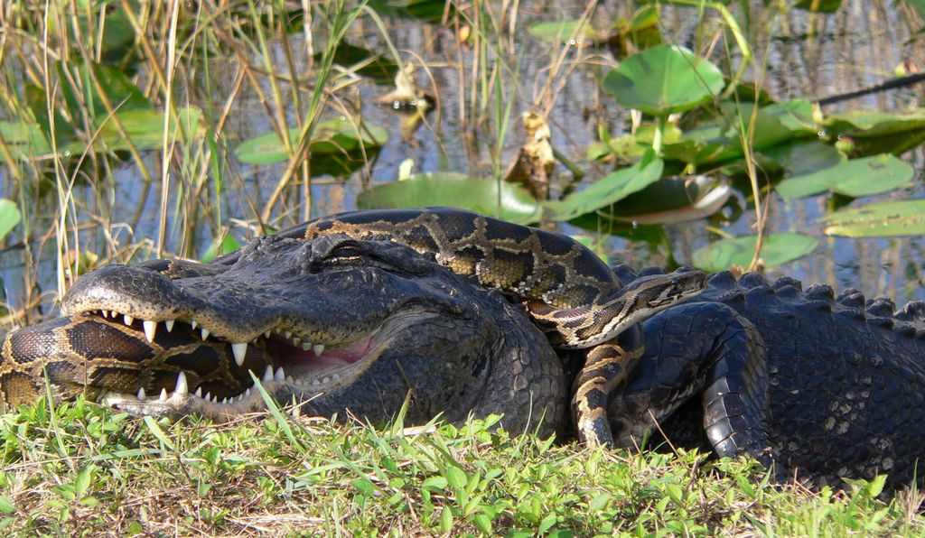 An American alligator and a Burmese python locked in a mortal struggle in Everglades National Park.