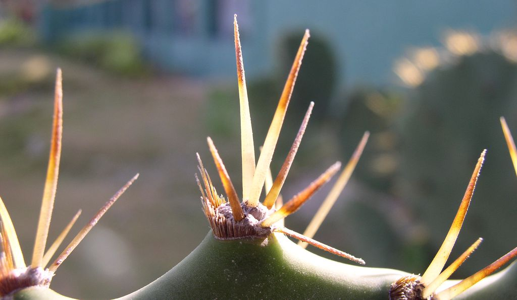 A closeup of a Colombian cactus.