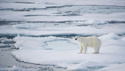 Where the Doomed, Beloved Polar Bear Is Still a Dangerous Predator