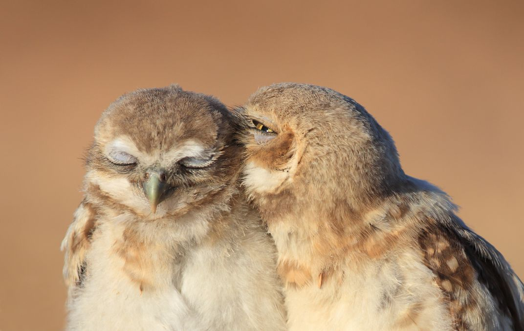 Image result for love owl