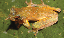 Meet the Newly Named Long-Nosed Pinocchio Frog