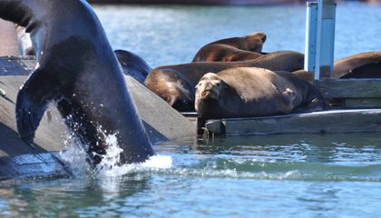 An Oregon Port Is Using Inflatable Air Dancers to Scare Off Pesky Sea Lions
