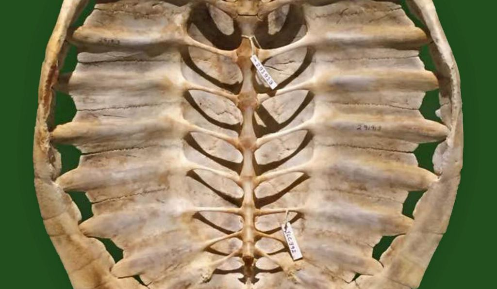While other animals, like the armadillo, evolved body armor, the turtle shell (above: the carapace of a snapping turtle) fully integrates the animal's backbone and ribs.