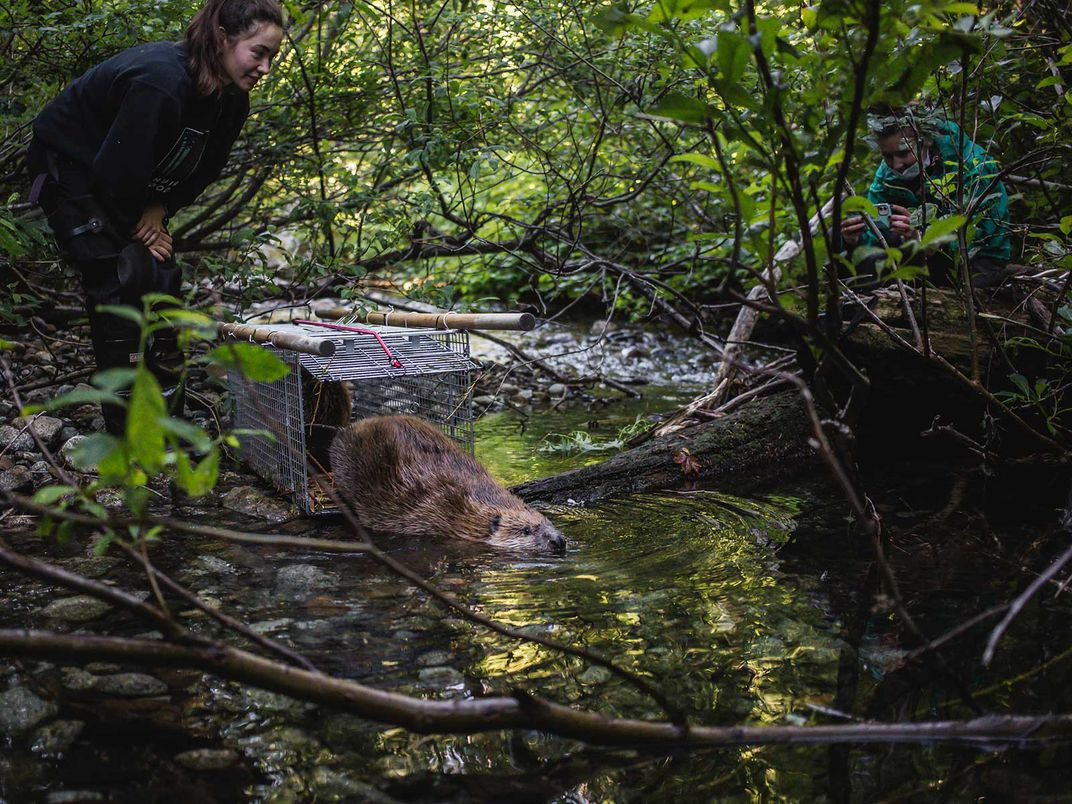 Releasing Trapped Beaver