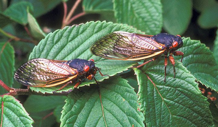 The periodical cicada species, Magicicada septendecim, will erupt from the ground this spring in the mid-Atlantic region. The last time the species from Brood X appeared for their cyclical mating cycle was in 2004. (ARS Information Staff, USDA)
