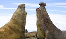 Big Southern elephant seal bulls