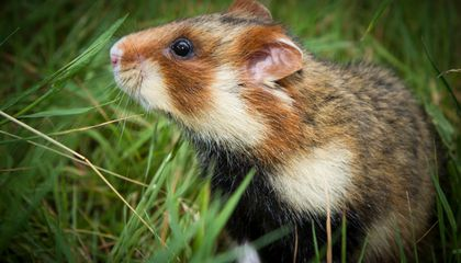 Why Are These Hamsters Cannibalizing Their Young?