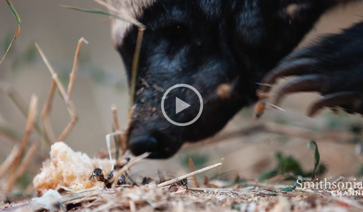 This Honey Badger Endures Bee Stings for Treats