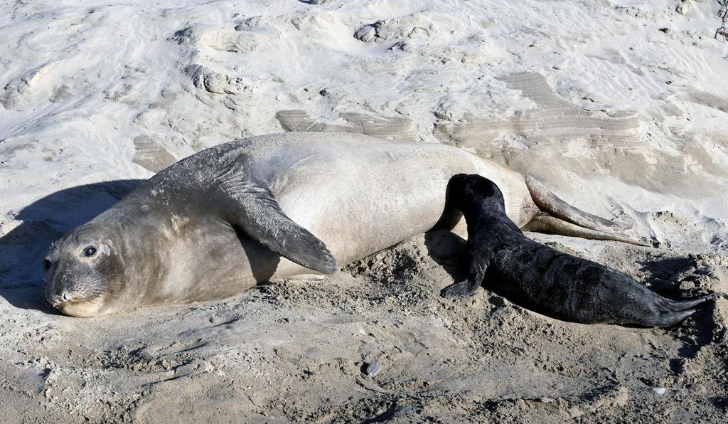 Supermoms start giving birth later than the average elephant seal female