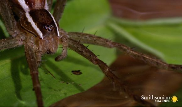 Preview thumbnail for video'This Terrifying Spider Hunts Fish Underwater