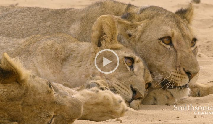 Lioness Withholds Food From Hungry Orphaned Cubs