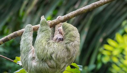 New Study Showcases Three-Toed Sloth's Unsung Adaptability