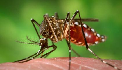 An Australian City Beats Dengue Fever Using Special Mosquitoes