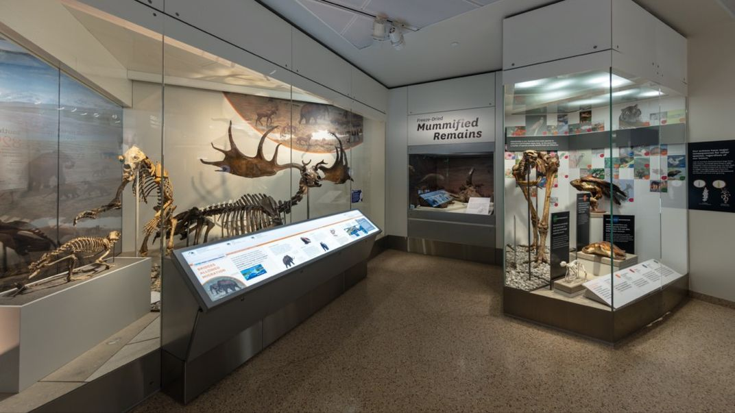 Fossil skeletons on display in a museum exhibit.