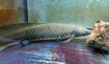 Australian Lungfish Has Biggest Genome Ever Sequenced