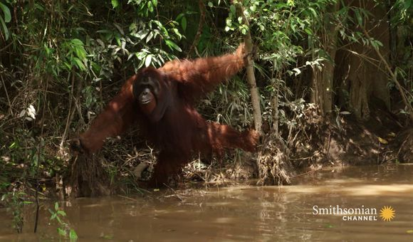 Preview thumbnail for video'This Aggressive Male Orangutan Refuses to Be Sedated