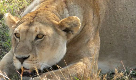 Preview thumbnail for video'Reporting From the Serengeti