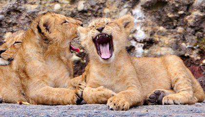 Contagious Yawning May Keep Lion Prides in Sync