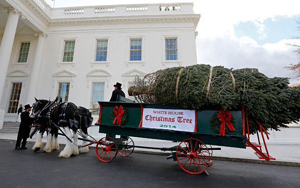 Horse-drawn wagon hauls White House Christmas tree