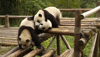 Giant Pandas Are No Longer Endangered but Are Still in Danger