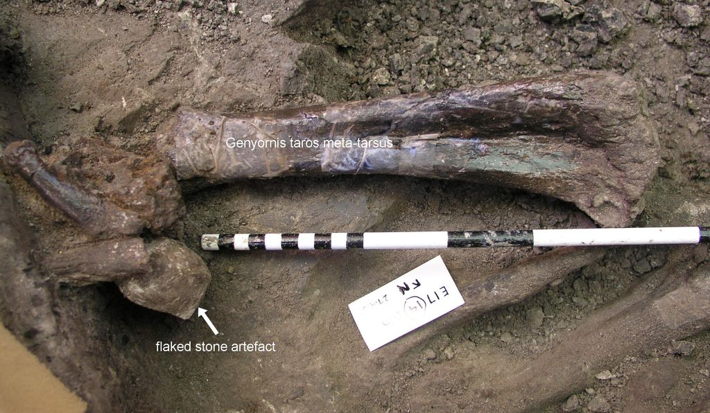 Cuddie Springs is the only site in mainland Australia that has produced insitu fossil evidence of the co-existence of humans and megafauna, as shown here by the discovery of a flaked stone artifact and the bone of a giant flightless bird.
